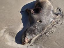 Dead sea lion, 5-6 ft in length