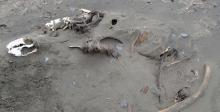 Found a long dead pinniped on the beach