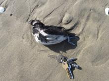 Dead seabird Cassin's auklet