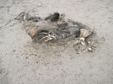What's left is some fur over carcass, about four feet long by 18""