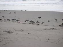 Dunlins, Sanderling and Semipalmated Plovers were foraging in the surf.