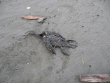 Cormorant webbed feet, black, long bill