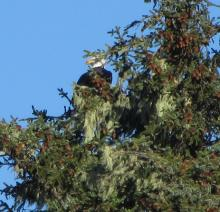 Eagle resting on Sitka spruce