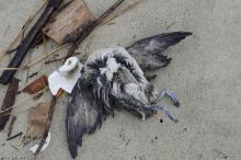 Dead bird in wrack line, just north of the lot 3 entrance to mile 168