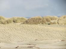 Noted new beach grass planted as part of dune maintenance.