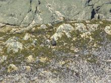 Juvenile Black Oystercatcher with darker tipped bill.  This bird was by him or her self on the north side of the point.