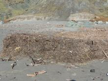 Large amounts of duff are washed into the ocean and end up in piles on this south facing headlands.  This photo shows one of these piles that has been broken and eroded back into the ocean.