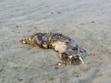 Badly decomposing.  previously reported to marine mammal stranding