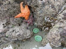 Beautiful sea anemones and ochre sea stars were plentiful in the tidepools at Harris Beach State Park, Mile 8, during low tide.