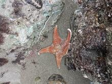 A leather sea star waiting anxiously for the tide to come in so it could relax more in it's normal sub-tidal environment.