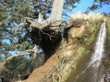 spruce tree barely hanging on to cliff