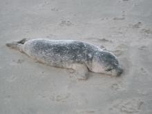 Baby seal dead on the beach