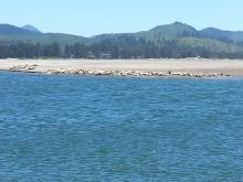 Different perspective on the Salishan Spit harbor seal colony ... taken from the north side of the mouth of the Siletz River