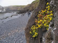 Monkey Flower on cliff above Cobble Beach, Yaquina Head17 June 2015