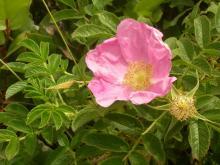 Rosa pisocarpa