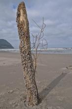 I am assuming the same person who planted the dead tree also perched this log, covered in pelagic gooseneck barnacles, upright.  Beach art.
