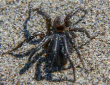 A trapdoor spider!  This is actually the second time I have found a trapdoor spider along this mile.  I do not know if it was still alive.  Though I took its picture, I wasn't willing to touch or poke it.