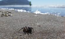Trapdoor spider.