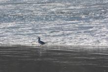 One Bonaparte's Gull working the swash zone.