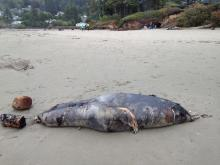 This dead animal was seen closer to beach where the Yachats River empties into the ocean.