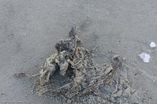 Dead Bird near high tide line north of beach access parking lot 3