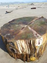 New stump on the beach ... shall we count the rings?