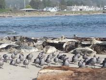 Flock of Heermann's gulls with resident harbor seals