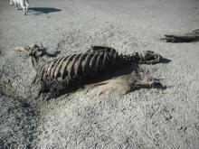 very dead sea lion; skeleton, oregon coast