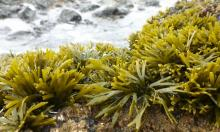 Lush growth of Pelvetiopsis tops rocks in the high intertidal
