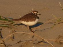 Spotted 4 Killdeer at base of dunes.