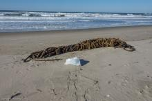The largest tangle of Bull Kelp along the wrack line. Bag is a Hefty tall kitchen bag for reference.