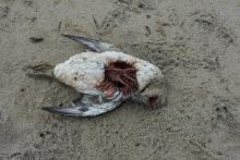 Possibly a dead murre on beach top bottom view, approx 12 in. long
