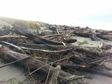 Large amount of driftwood on the beach at the north end of the Salishan Spit ... understandable given the recent storms and high tides