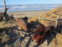 These logs were deposited at the top of the dune between the road to the campsite and the beach.