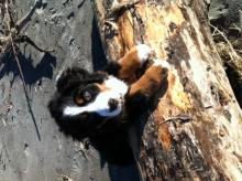 Beach puppy on log