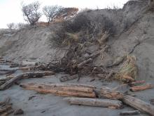 Some of the beachfront trees lose their grip as waves erode their usual high perch at Bullard's Beach State Park just south of the blockhouse bathrooms on Mile 103.