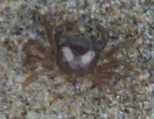 One of two tiny crabs that fell off the tire/rim when I flipped it over.