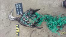 We found a very fresh and pliable deceased pacific loon entangled in netting. We tagged it as #339 as part of our COASST survey. We cut the netting off and disposed of it after tagging.