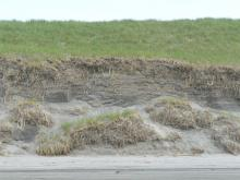 Dunes giving way and fresh roots.