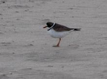 Semipalmated plover on the shoreline north of Ecola Creek