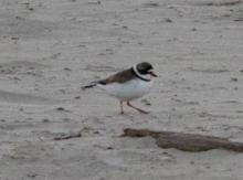 Semipalmated plover, Clatsop County, Cannon Beach, Ecola Creek, Chapman Beach south