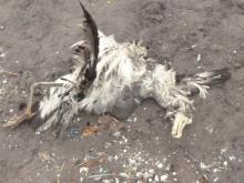 Dead bird, tentatively identified as a cormorant. No band seen on single leg visible.