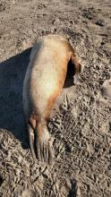 Dead headless sea lion found on the beach at Del Rey Beach State Recreation Area