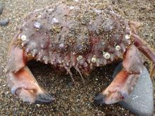 Pacific Rock Crab, Oregon Shores