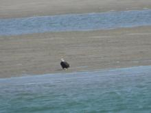 Bald eagle on sand bar, Siletz Bay