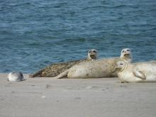 Harbor seals with a pup