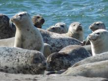 Harbor seals, Oregon Coast
