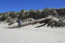 Exposed or recently deposited large driftwood at the face of the dunes