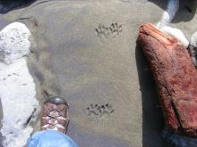 Raccoon foot prints on the beach.  Diane's boot is for comparison.