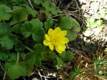 Ranunculus californicus (Buttercup) was just starting to bloom.